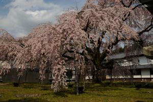 醍醐寺・枝垂れ桜