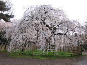 早咲きの京都の桜