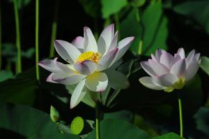 大阪万博記念公園の蓮