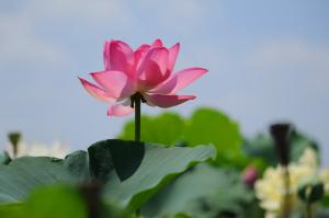 滋賀県草津水生植物園の蓮