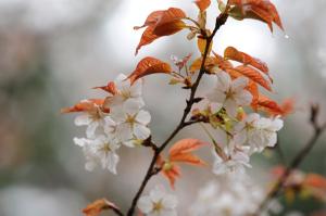 京都・桜・京都御苑