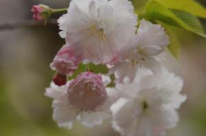 京都・桜・平野神社