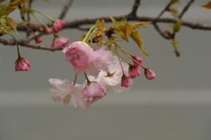 京都・桜・仁和寺