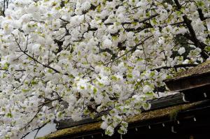 京都 桜 平野神社 2014年