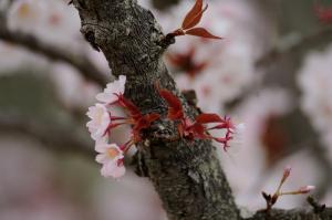 京都 桜 御室仁和寺 2014年