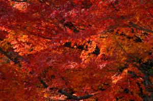 京都 紅葉 嵐山 二尊院 2014秋